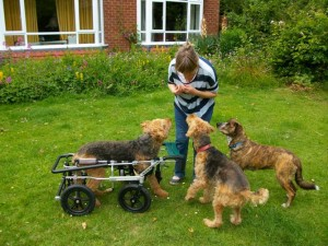 Herbie, an airedale with a front leg amputation and weak rear legs in an Eddie's Wheels quad cart