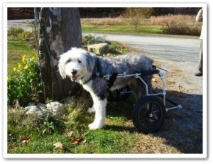Custom canine cart for disabled dog
