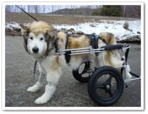 disabled dogs in counterbalanced canine cart