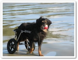 disabled dog in canine cart