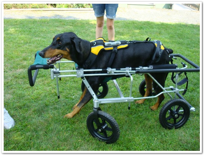 Paralyzed Doberman with Wobblers in full quad cart