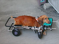 disabled dog in quad canine cart