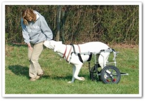 disabled Great Dane in canine cart