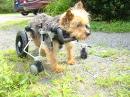 This 5 lb. yorkie needed support in all four legs.  The walker weighs less than 2 lbs.